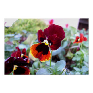 Maroon Orange And Yellow Pansy Posters
