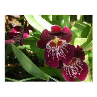 Maroon Orchids II Postcard