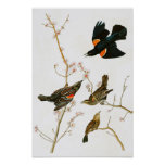 Marsh Blackbird John Audubon Birds of America Poster