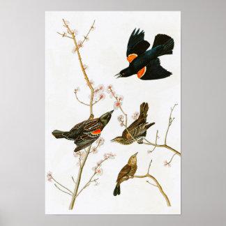 Marsh Blackbird John Audubon Birds of America Poster