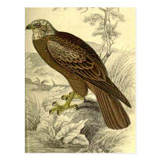 Marsh Harrier:  Vintage Jardine's  print postcard
