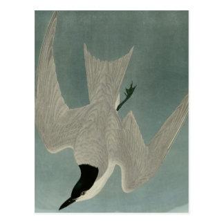 Marsh Tern Postcard