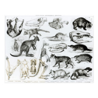 Marsupialia, Monetremata, Edentata Post Card