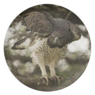 Martial Eagle adult in tree Plate