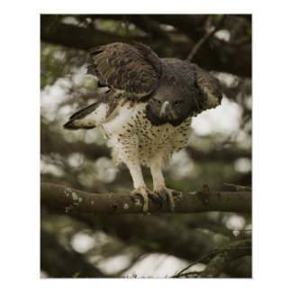 Martial Eagle adult in tree Posters