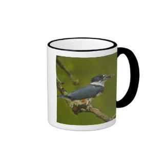 Martín pescador ceñido de la hembra con la presa c tazas de café
