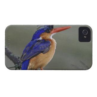 Martín pescador de la malaquita, cristata del Alce Case-Mate iPhone 4 Cobertura