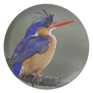 Martín pescador de la malaquita, cristata del Alce Plato Para Fiesta