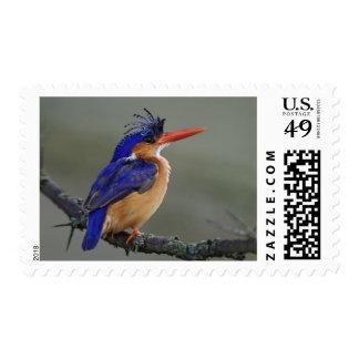 Martín pescador de la malaquita, cristata del sellos