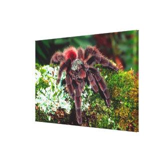 Martinique Tree Spider, Avicularia versicolor, Canvas Print