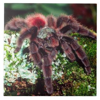 Martinique Tree Spider, Avicularia versicolor, Ceramic Tile