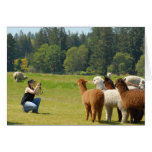 mary and alpacas greeting cards