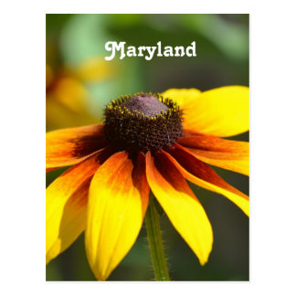 Maryland Black Eyed Susan Postcard