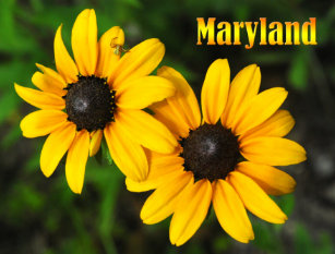 maryland state flower gifts on zazzle