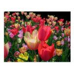 Más tulipanes tarjeta postal