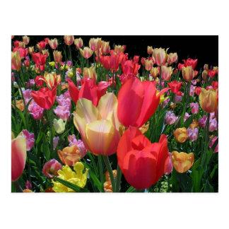 Más tulipanes postal