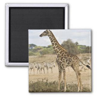 Masai Giraffe and Common Zebra at Amboseli NP, Magnet