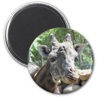 Masai Giraffe Close Up Portait Magnet