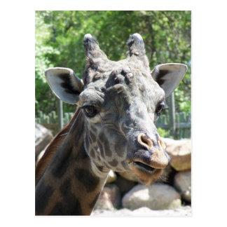 Masai Giraffe Close Up Portait Postcard