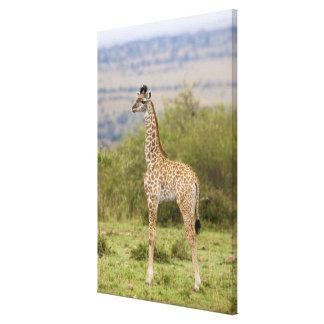 Masai Giraffe (Giraffa camelopardalis 2 Canvas Print