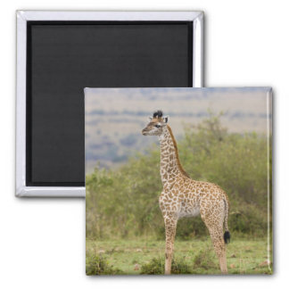 Masai Giraffe (Giraffa camelopardalis 2 Refrigerator Magnet