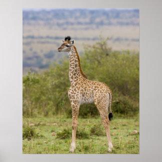 Masai Giraffe (Giraffa camelopardalis 2 Poster