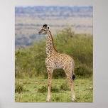 Masai Giraffe (Giraffa camelopardalis 2 Posters