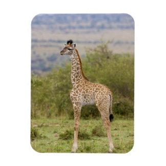 Masai Giraffe (Giraffa camelopardalis 2 Rectangle Magnets