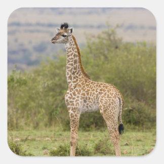 Masai Giraffe (Giraffa camelopardalis 2 Square Sticker