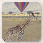 Masai Giraffe (Giraffa camelopardalis Coaster