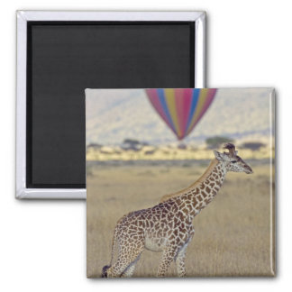 Masai Giraffe (Giraffa camelopardalis Refrigerator Magnets