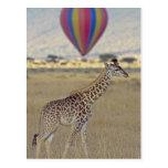 Masai Giraffe (Giraffa camelopardalis Post Card