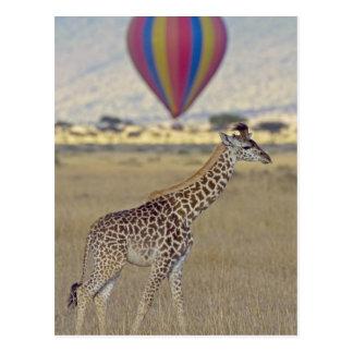 Masai Giraffe (Giraffa camelopardalis Postcard