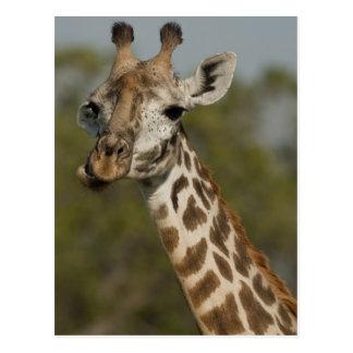 Masai Giraffe, Giraffa camelopardalis Postcard