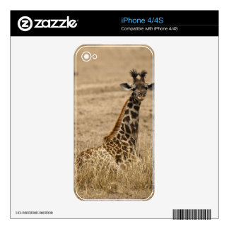 Masai Giraffe, Giraffa camelopardalis, resting Decals For The iPhone 4S