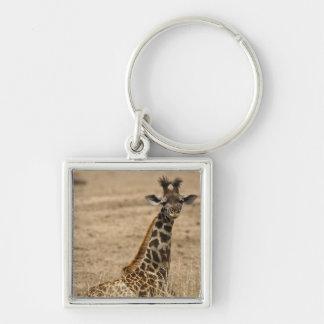 Masai Giraffe, Giraffa camelopardalis, resting Keychain