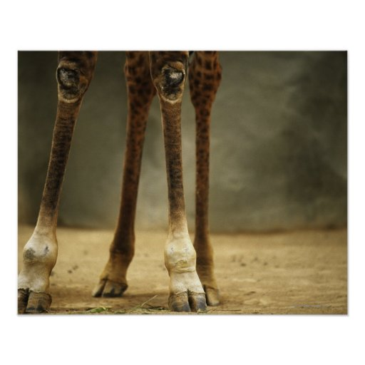 Masai giraffe, low angle view of legs, Giraffa Poster