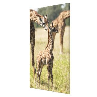 Masai giraffes, Giraffa camelopardalis 2 Canvas Print