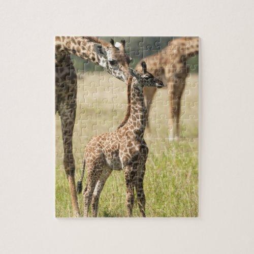 Masai giraffes Giraffa camelopardalis 2 Jigsaw Puzzle
