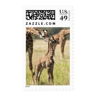 Masai giraffes Giraffa camelopardalis 2 Stamp