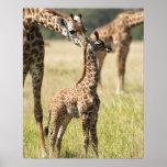 Masai giraffes, Giraffa camelopardalis 2 Poster