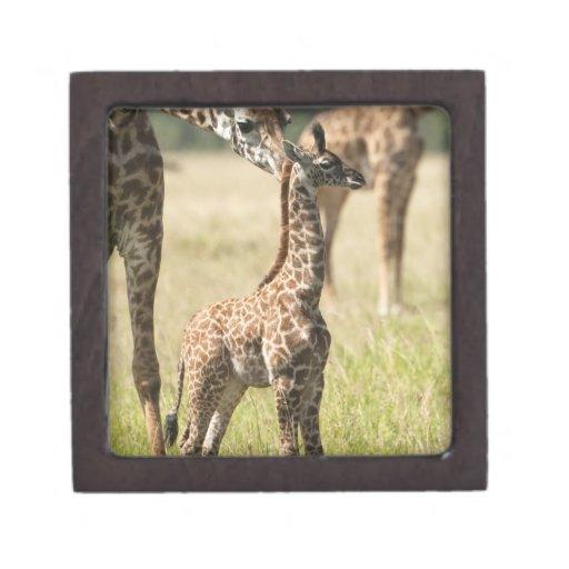 Masai giraffes, Giraffa camelopardalis 2 Premium Jewelry Box