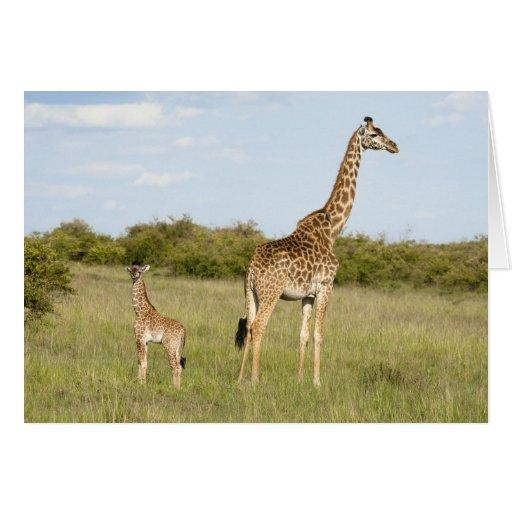 Masai giraffes, Giraffa camelopardalis 3 Greeting Cards