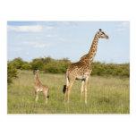 Masai giraffes, Giraffa camelopardalis 3 Post Card