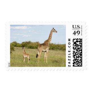 Masai giraffes, Giraffa camelopardalis 3 Postage