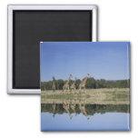 Masai Giraffes, Giraffa camelopardalis, Masai 2 Inch Square Magnet