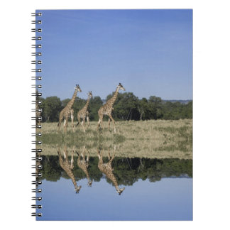 Masai Giraffes, Giraffa camelopardalis, Masai Notebook