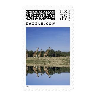 Masai Giraffes, Giraffa camelopardalis, Masai Postage