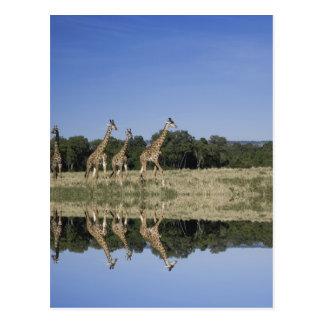 Masai Giraffes, Giraffa camelopardalis, Masai Postcards