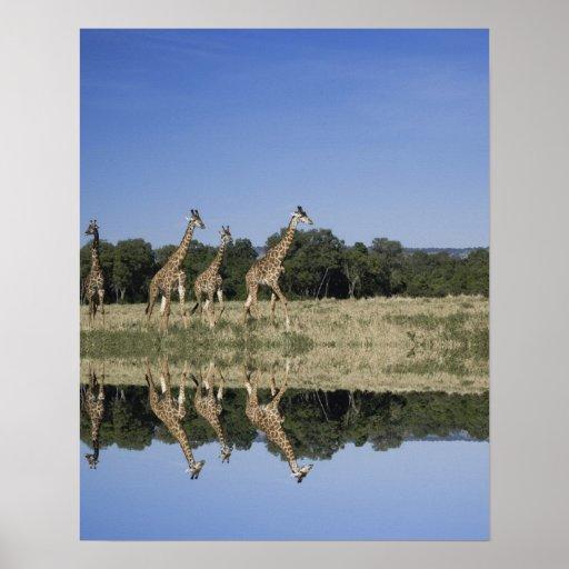 Masai Giraffes, Giraffa camelopardalis, Masai Poster